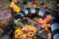 A Banded Sea Krait, Laticauda colubrina, makes its way among orange cup corals while searching for the crustaceans and small fish it preys upon. Although extremely venomous, sea snakes are very mild-mannered and docile, posing virtually no threat to divers. Mergui Archipelago, Myanmar, Andaman Sea