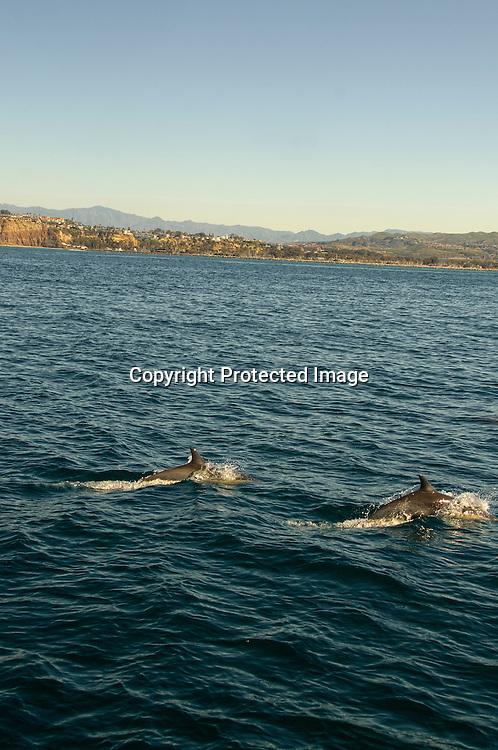 Stock photo of dolphins off Dana point California