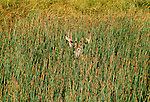 White-tailed deer, National Bison Range, Montana