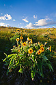Balsamroot blooming at Coffee Pot Lake in the Channeled Scablands of eastern Washington.