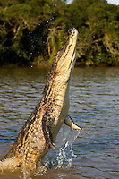 Spectacled Caiman (Caiman crocodilus) adult leaping from water, Los Lianos, Venezuela