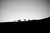 Horses graze on a hillside at sunset in rural Mongolia.