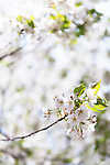 Closeup of white cherry blossom flowers Japan