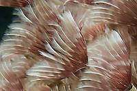 Feather duster colony<br />