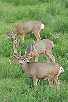 Mule deer (Odocoileus hemionus) bucks in velvet during summer