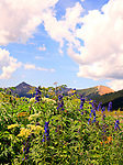 Larkspur & Cow Parsnip Blooming in Porphyry Basin San Juan Mountains Colorado
