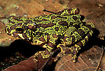 Frog, Sp. unknown, Sabah Borneo, green & brown pattern.Borneo....