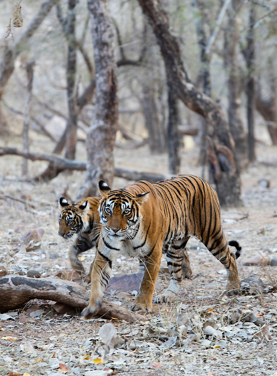 India, Rajasthan, Ranthambhore National Park, Bengal tigress and 8 months old cub walking in forest
