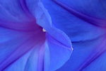 Morning Glory / Ipomoea purpurea