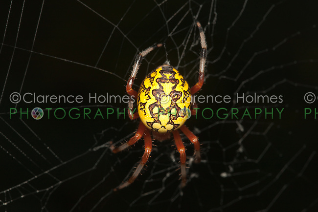 A female Marbled Orbweaver (Araneus marmoreus) looks for prey at the center of her web, West Harrison, Westchester County, New York.
