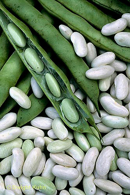 HS30-150x  Bean - shell bean - Cannellini variety