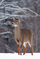Whitetail Doe in Snow  #D3