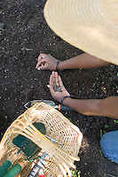 Photo of an African American gardener, planting bean seeds.