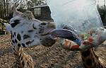 Foto: VidiPhoto..RHENEN - De Rothschildgiraffen van Ouwehands Dierenpark in Rhenen hebben dinsdag nieuw speelgoed gekregen. Om het tonggebruik van de dieren te stimuleren zijn er doorzichtige waterflessen opgehangen, met daarin vers fruit. Het speelvoer is alleen te bereiken via een paar kleine gaten in de fles. De giraffen moeten daarvoor hun lange tong gebruiken.