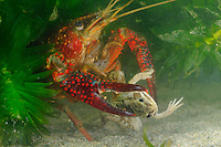 Red Swamp Crayfish (Procambarus clarkii) preying on a Green Frog