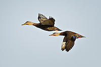 Mottled Ducks in flight