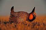 "Greater Prairie Chicken display, booming grounds. Burchard Lake Wildlife Management Area, Pawnee County, Nebraska. As part of an elaborate courtship disply, male greater prairie chickens expand the air sacs on the sides of their necks, drum their feet in stylized dances and make a booming call that can be heard for over a mile. These mating rituals occur on elevated, grazed areas in grasslands known as ""leks"" or ""booming grounds."" Once inhabiting the wide plains of the central United States, the greater prairie chicken has fared poorly as its grassland habitat has been converted to other uses."