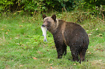 Young grizzly bear cub carrying the salmon in his mouth