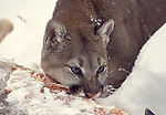 mountain lion eating deer meat