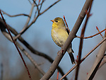 Goldfinch rests on a branch near Lake Nokomis in springtime