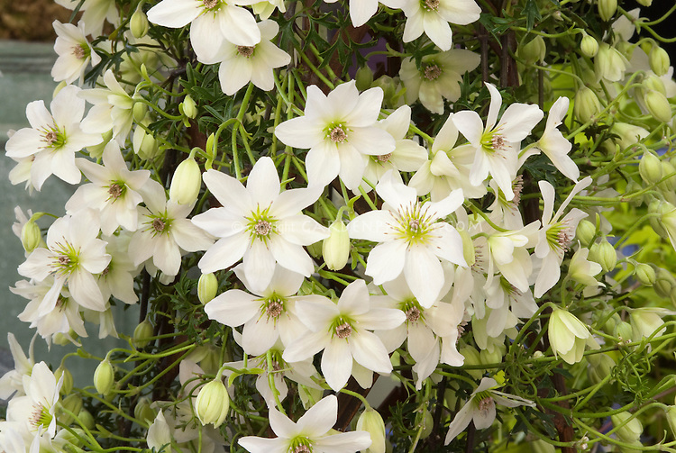Clematis 'Early Sensation' white flowering climbing vine with masses of blooms