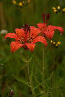 Michigan Lily (Lilium michiganense), blooming wild on the Bruce Peninsula, Ontario, Canada.