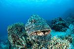 Potato cod (Epinephelus tukula)
