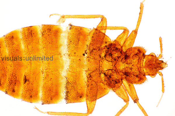 Adult Bed Bug (Cimex lectularius). LM X4