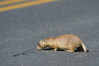 673030126 a wild utah prairie dog cynomys parvidens feeds off an asphalt road near its den in bryce canyon national park utah united states