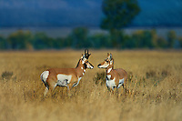 673080018 wild doe and buck pronghorn antelope antilocarpa americana pose in a tall grass field near grand tetons national park wyoming