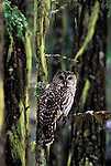Barred owl in a conifer forest. Kootenai National Forest in the Cabinet Mountains, northwest Montana.