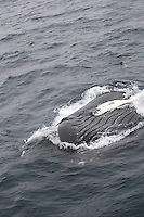 Humpback whale Megaptera novaeangliae feeding  showing expanded throat pleats. Kvitøya, Arctic ocean