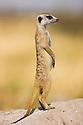 Suricate or Meerkat (Suricata suricatta), sentinel looking out for danger, Kalahari, Makgadikgadi Pans National Park, Botswana