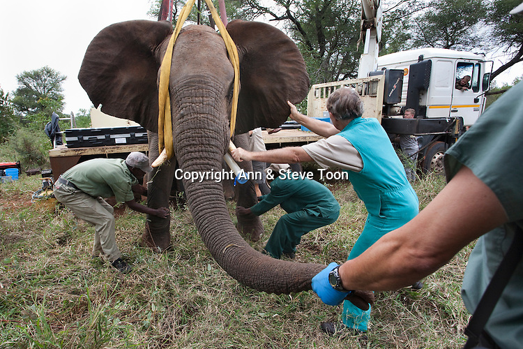 Wild elephant bull, Loxodonta africana, being made ready for vasectomy operation in bush by the Elephant Population Management Program team.  Private game reserve in Limpopo, South Africa