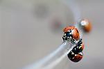Lady bugs along lip of a glass Seattle Washington State USA