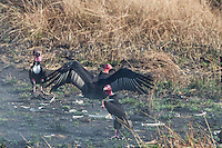 "Critially endangered Red-headed Vulture (Sarcogyps calvus) feeding on a dead cow at a ""vulture restaurant."" (Cambodia)"