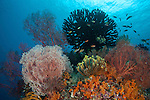 Coral reef scene vibrant and lush with corals and fish. Misool, Raja Ampat, West Papua, Indonesia,  January 2010