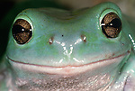 Australian green tree frog, Australia