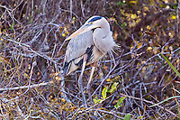 A Great Blue Heron (Ardea herodias) in vegetation next to a canal in the Shark Valley section of Everglades National Park, Florida.