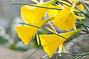 Narcissus bulbocodium, sometimes known as the hoop-petticoat daffodil. This variety originally from Asni, Morocco.