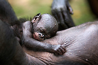 Bonobo baby aged 2-3 weeks sleeping on its mother (Pan paniscus), Lola Ya Bonobo Sanctuary, Democratic Republic of Congo.