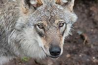 Wolf in Namsskogan Zoo, Mid-Norway. Ulv i Namsskogan familiepark.
