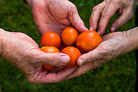 Two aged pairs of hands together holding five bright red tomatos.