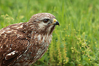 "The Red-tailed Hawk is characterized by variability and versatility.  Across its widespread range, this species exhibits remarkable diversity in plumage, habitat use, and hunting ecology, so much that the red-tail is often described as a ""jack-of-all­-trades."""