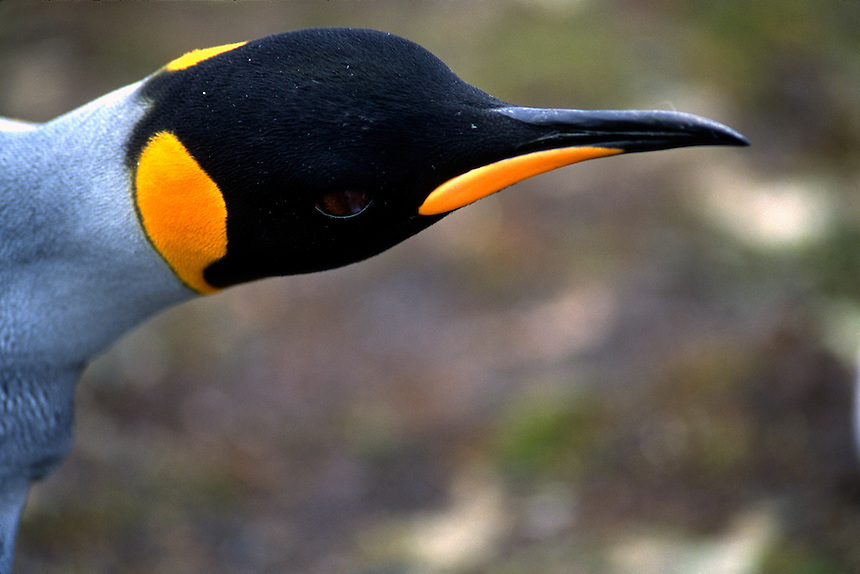 A king penguin at a rookery on the Falkland Islands.