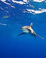Oceanic Whitetip Shark, Carcharhinus longimanus, and Pilot Fish, Naucrates ductor, off Kona, Big Island, Hawaii, Pacific Ocean.