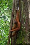 Sumatran orangutan hangs out against a giant tree trunk in Gunung Leuser National Park, North Sumatra
