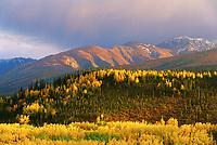 Autumn, Birch, Aspen trees and Alaska mountains, Denali National Park, Alaska