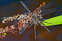 389880002 a wild fishing spider genus dolomedes makes a meal of a selys' sundragon dragonfly helocordullia selysii along indian creek jasper county texas united states