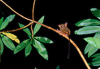 Spectral or Sulawesi Tarsier (Tarsius spectrum) in the rainforest of Tangkoko Nature Reserve, Sulawesi, Indonesia.